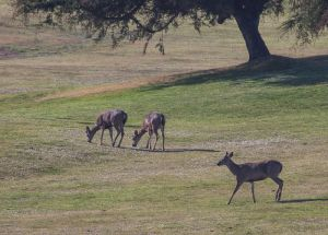 Pacific Grove Deer